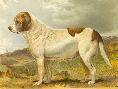 Art Prints of Smooth Coated Saint Bernard by Vero Shaw