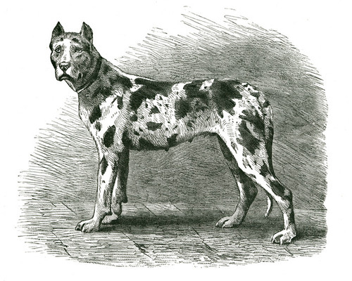 Art Prints of German Mastiff by Vero Shaw