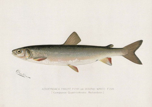 Art Prints of Adirondack Frost Fish by Sherman Foote Denton