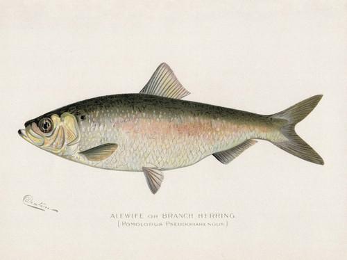 Art Prints of Alewife or Branch Herring by Sherman Foote Denton