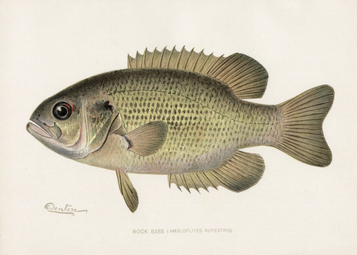 Art Prints of Rock Signed Bass by Sherman Foote Denton