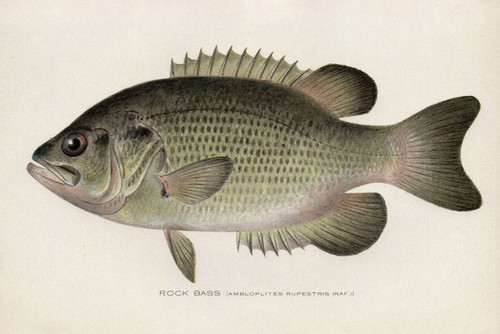 Art Prints of Rock Bass by Sherman Foote Denton