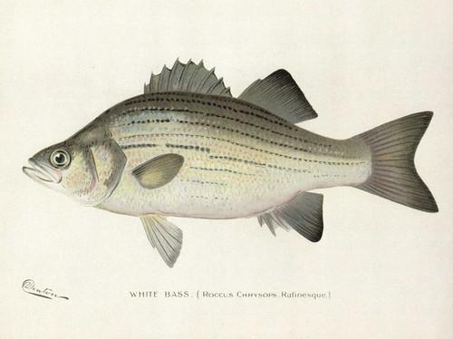 Art Prints of White Bass by Sherman Foote Denton