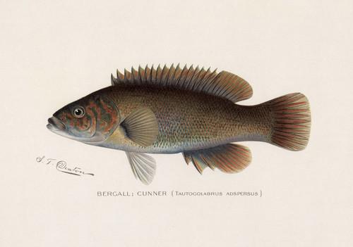 Art Prints of Bergall or Cunner by Sherman Foote Denton