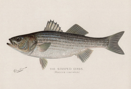 Art Prints of Striped Bass by Sherman Foote Denton