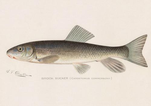 Art Prints of Brook Sucker by Sherman Foote Denton