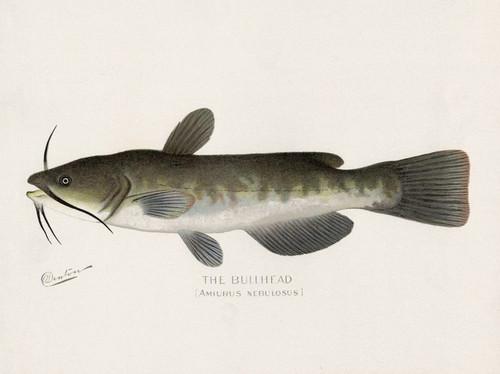 Art Prints of Bullhead by Sherman Foote Denton
