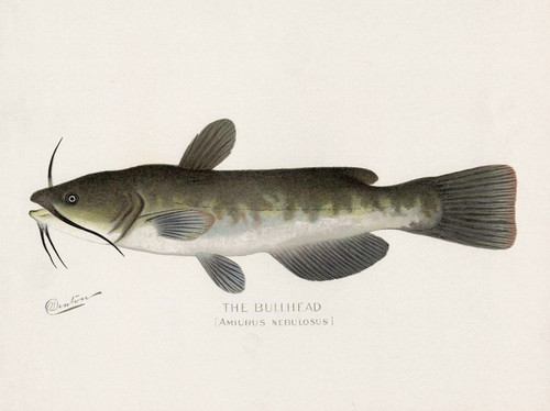 Art Prints of Bullhead by Sherman Foote Denton