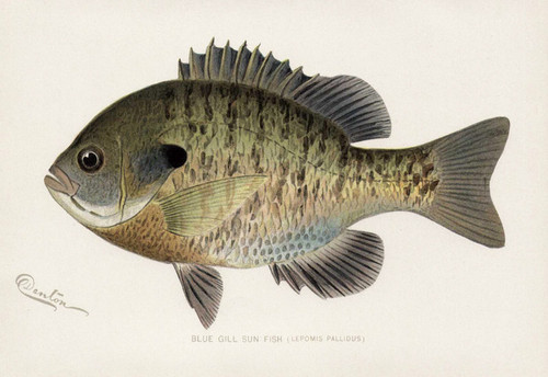 Art Prints of Blue Gill Sun Fish by Sherman Foote Denton