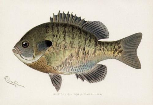 Art Prints of Blue Gill Sun Fish by Sherman Foote Denton