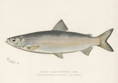 Art Prints of Cisco from Hemlock Lake by Sherman Foote Denton