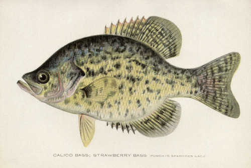 Art Prints of Calico or Strawberry Bass by Sherman Foote Denton