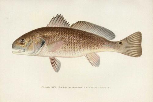 Art Prints of Channel Bass, Redfish by Sherman Foote Denton