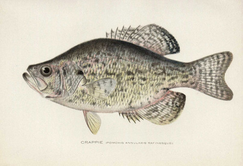 Art Prints of Crappie by Sherman Foote Denton