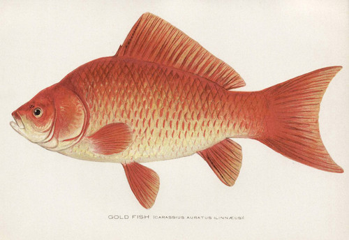 Art Prints of Goldfish by Sherman Foote Denton