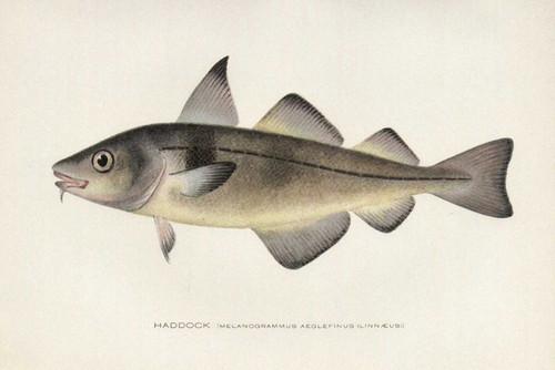 Art Prints of Haddock by Sherman Foote Denton