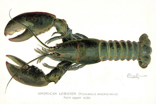 Art Prints of Lobster, Male by Sherman Foote Denton