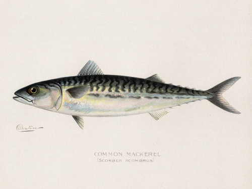Art Prints of Common Mackerel by Sherman Foote Denton