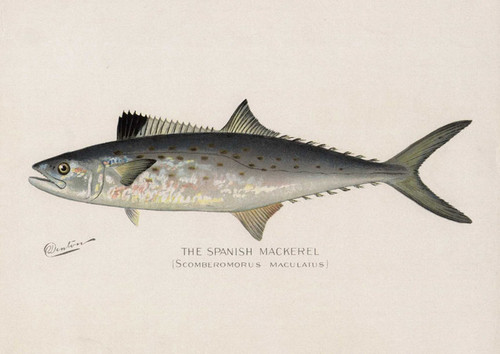 Art Prints of Spanish Mackerel by Sherman Foote Denton