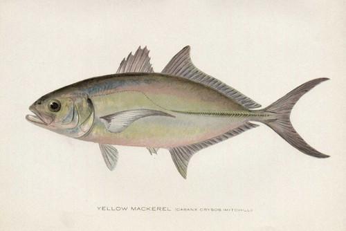 Art Prints of Yellow Mackerel by Sherman Foote Denton