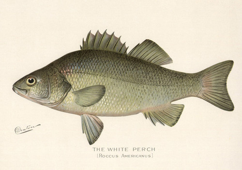 Art Prints of White Perch by Sherman Foote Denton