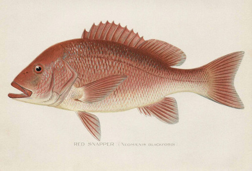 Art Prints of Red Snapper by Sherman Foote Denton
