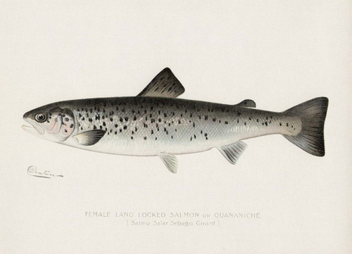 Art Prints of Landlocked Salmon, Female by Sherman Foote Denton