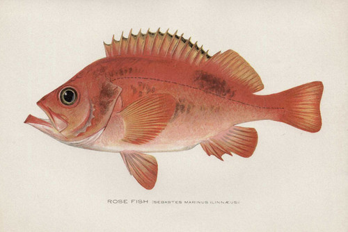 Art Prints of Rosefish by Sherman Foote Denton