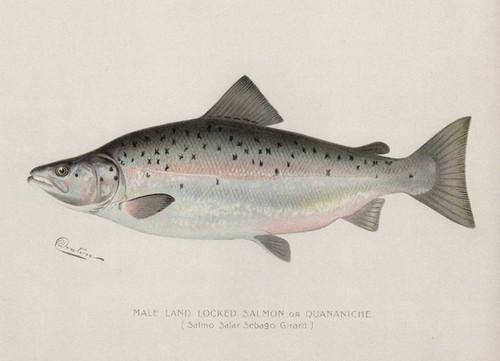 Art Prints of Landlocked Salmon, Male by Sherman Foote Denton