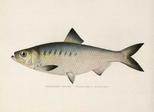Art Prints of Hickory Shad by Sherman Foote Denton