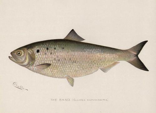 Art Prints of Shad by Sherman Foote Denton