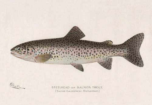 Art Prints of Steelhead or Salmon Trout by Sherman Foote Denton
