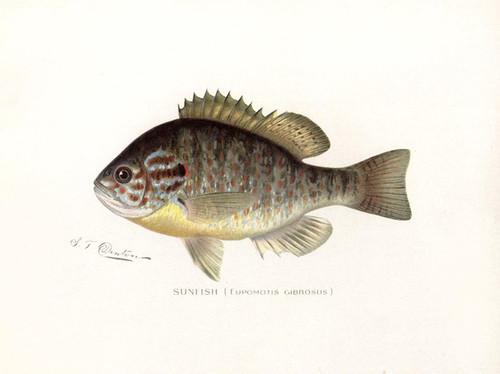 Art Prints of Sunfish by Sherman Foote Denton
