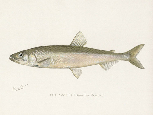Art Prints of Smelt by Sherman Foote Denton