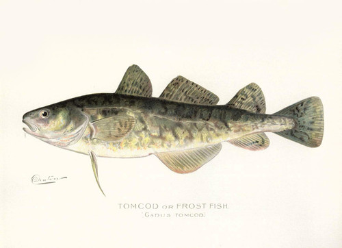Art Prints of Tomcod or Frost Fish by Sherman Foote Denton