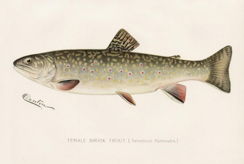 Art Prints of Brook Trout, Female by Sherman Foote Denton
