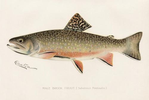 Art Prints of Brook Trout, Male by Sherman Foote Denton