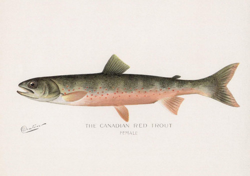 Art Prints of Canadian Red Trout, Female by Sherman Foote Denton