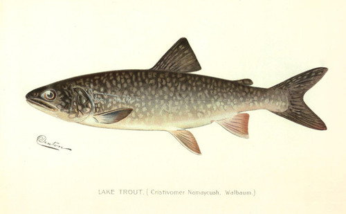 Art Prints of Lake Trout by Sherman Foote Denton