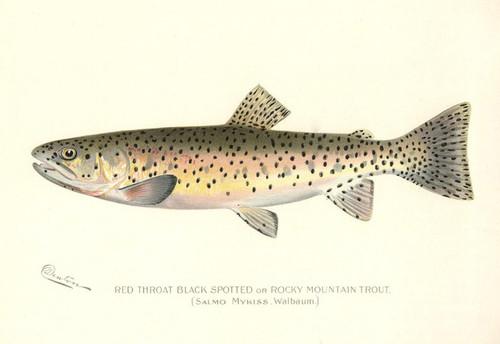 Art Prints of Rocky Mountain Trout by Sherman Foote Denton