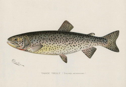 Art Prints of Tahoe Trout by Sherman Foote Denton