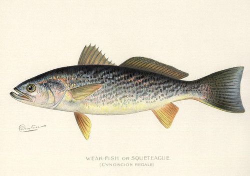 Art Prints of Weakfish or Squeteague by Sherman Foote Denton