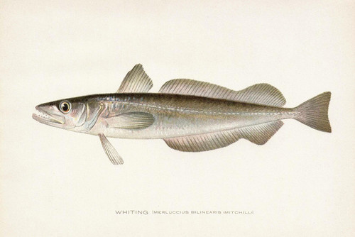 Art Prints of Whiting by Sherman Foote Denton