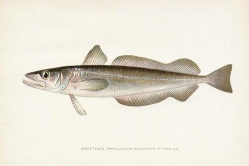 Art Prints of Whiting by Sherman Foote Denton