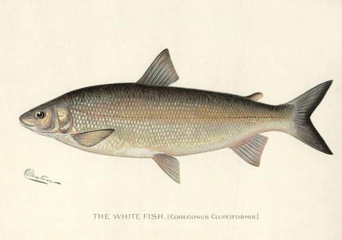 Art Prints of Whitefish by Sherman Foote Denton