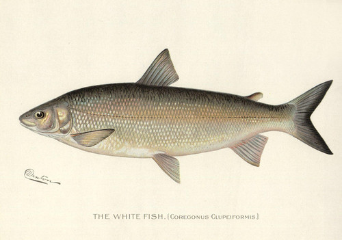 Art Prints of Whitefish by Sherman Foote Denton