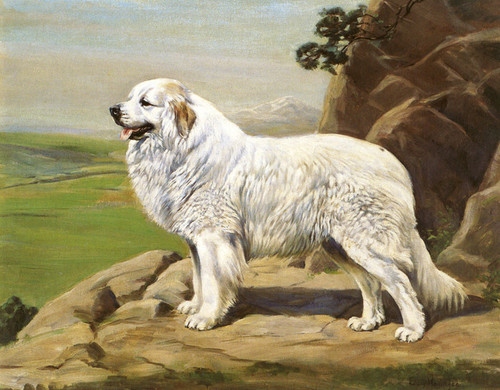 Art Prints of Champion Basquaerie Marsous, Great Pyrenees by Edwin Megargee
