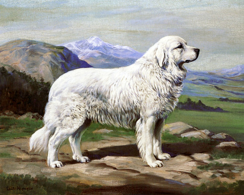 Art Prints of Champion Urdos de Soum, Pyrenees by Edwin Megargee
