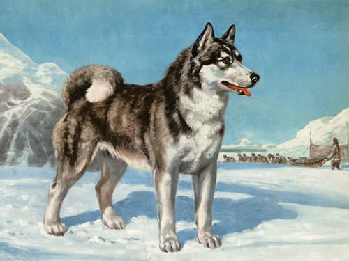 Art Prints of Siberian Husky by Edwin Megargee