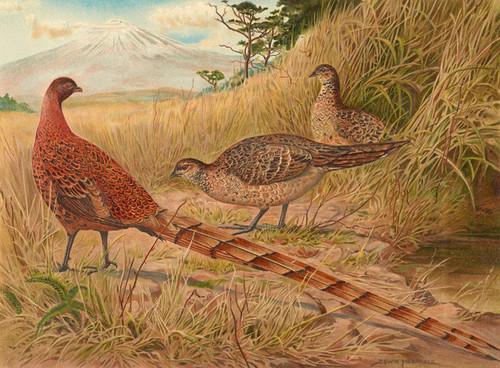 Art Prints of Soemmerring's Copper Pheasant by Edwin Megargee